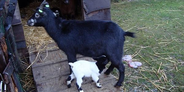 Drie jonge geitjes geboren!